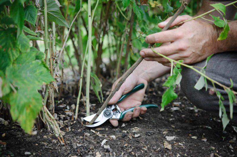 Обрезка ремонтантной малины осенью: основные правила и особенности